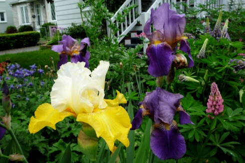 Other People's Beautiful German Irises