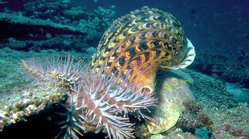 A giant triton snail feeding on crown-of-thorns starfish. Image supplied by Australian Institute of Marine Science