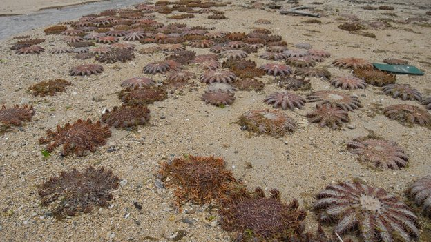 Crown-of-thorns starfish wash up in Japan (BBC)