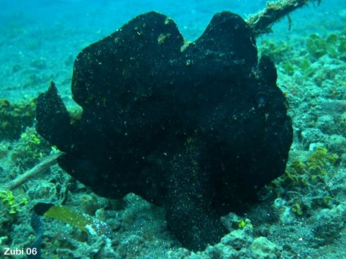 Antennarius commerson - Giant frogfish (Commerson's frogfish)  Copyright Teresa Zubi