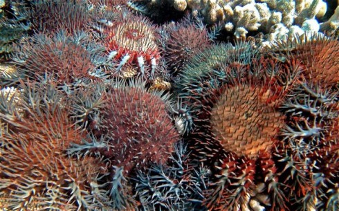 A plague of crown-of-thorns starfish (Photo: AFP/Getty Images)