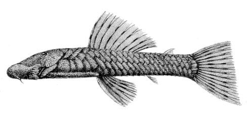 An illustration of Chaetostoma microps