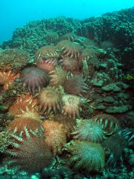 An infestation of Crown-of-Thorns Starfish