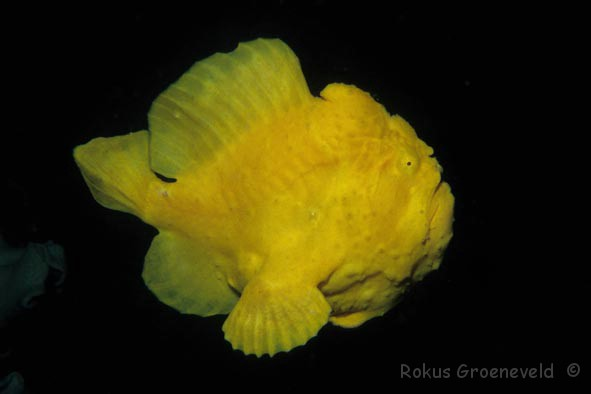 Giant frogfish, (Antennarius commerson) photo by Rokus Groeneveld