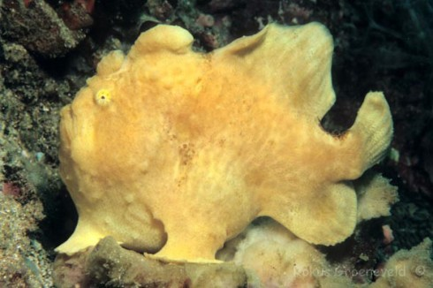"Giant frogfish, Antennarius commerson (photo by ""Hole in the wall"")"