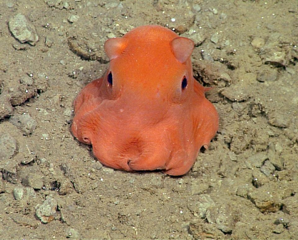A New Species of Flapjack Octopus (photo by Monterey Bay Aquarium Research Institute)