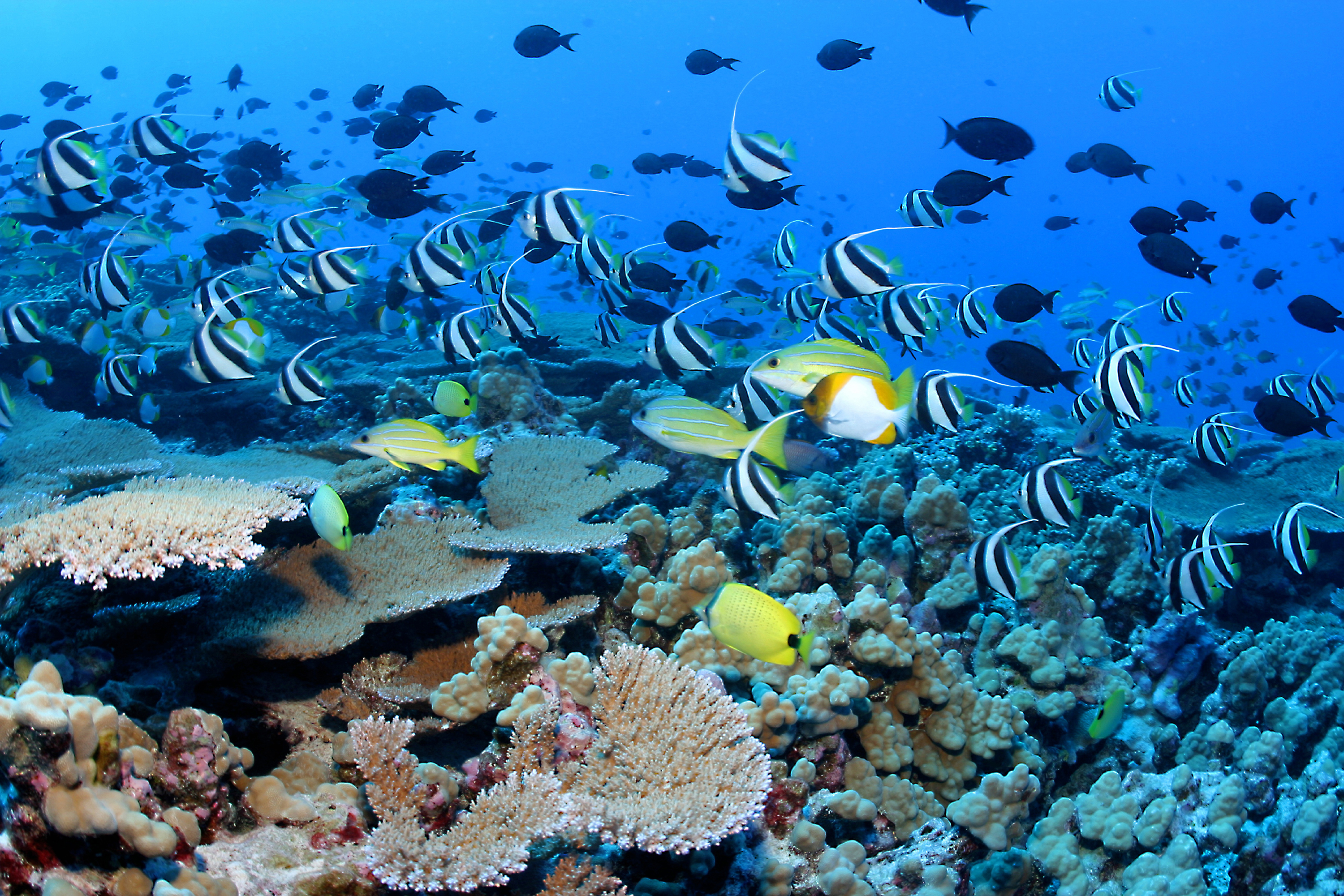 Clouds of reef fish and corals at Papahānaumokuākea Marine National Monument.