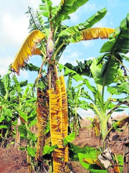 Banana Tree with Panama Disease