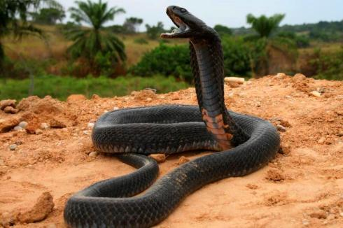 Black necked spitting cobra (Naja nigricollis) image from angolafieldgroup.com