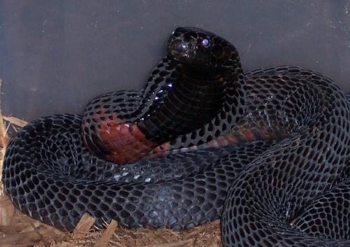 The black-necked spitting cobra (Naja nigricollis)