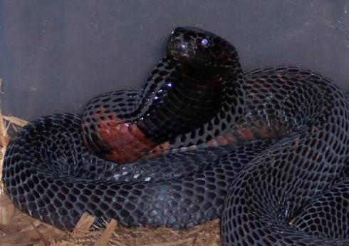 The black-necked spitting cobra (Naja nigricollis)