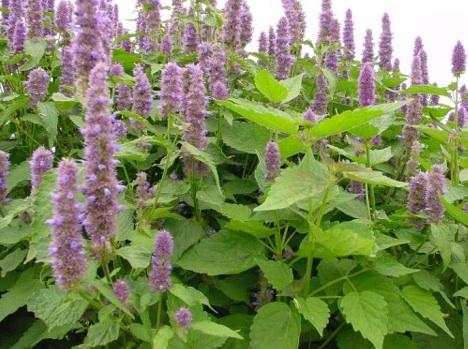 Flowering mints (Image via Herb Gully)