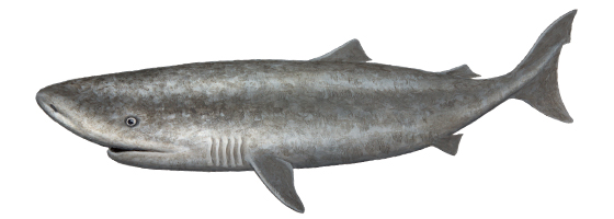 Pacific Sleeper Shark (Somniosus pacificus)