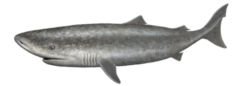 Pacific Sleeper Shark (Somniosus pacificus)