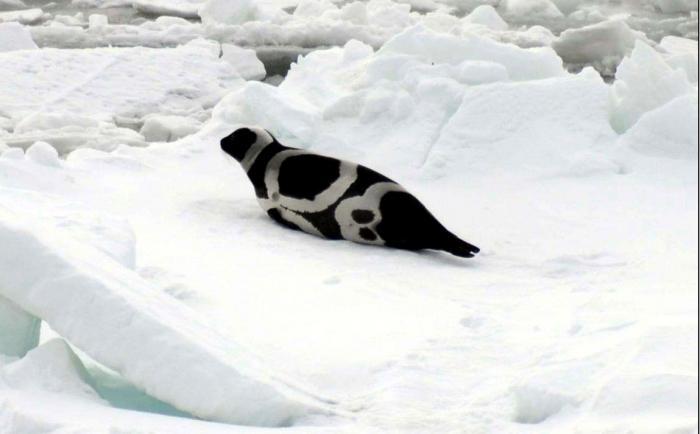 Ribbon Seal, Photo by Michael Cameron.