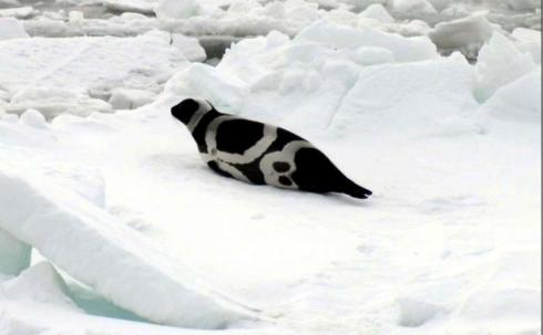 Ribbon Seal, Photo by Michael Cameron.