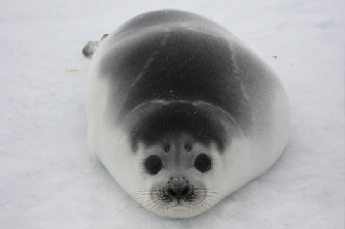 Ribbon Seal Pup