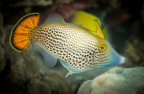 Fantail Filefish (Pervagor spilosoma) | by RCG Maru