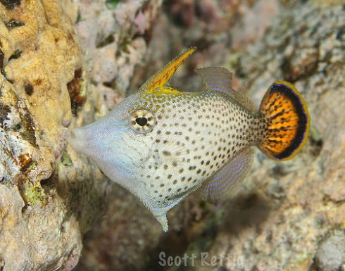 Fantail Filefish (Pervagor spilosoma) by Scott Retig