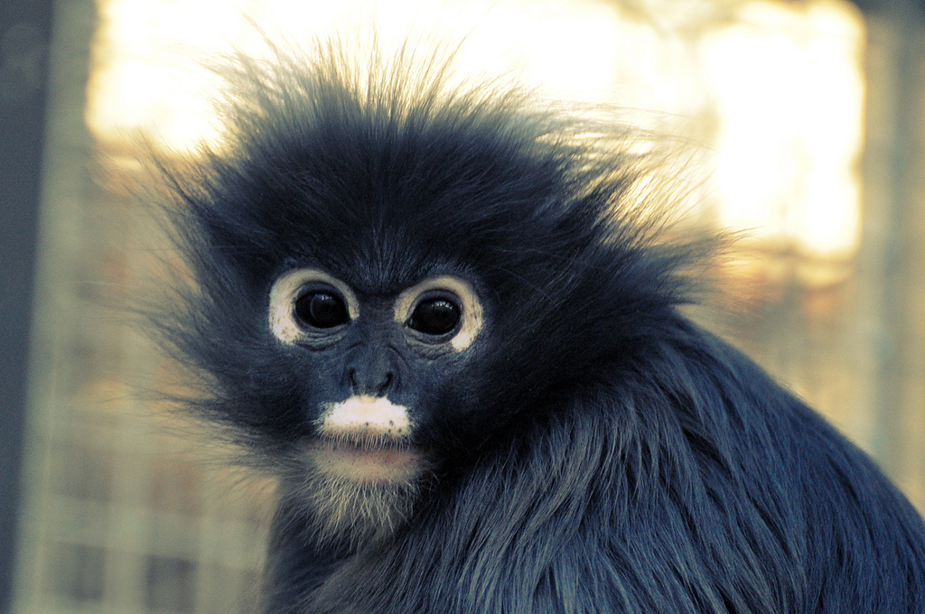 Dusky Leaf Monkey (Trachypithecus obscurus) photo by Petfles
