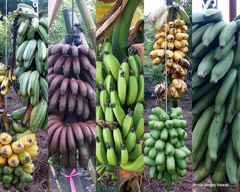 Types Of Banana With Pictures