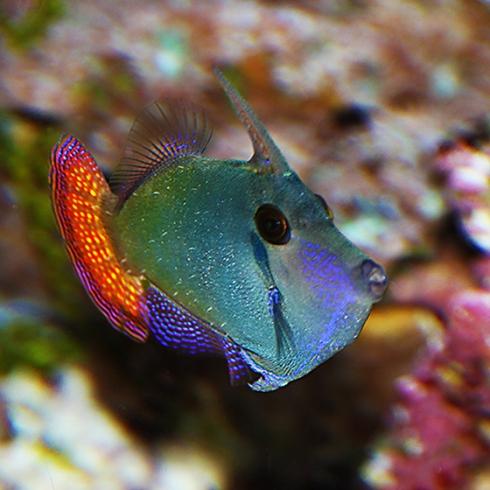 Blackbar Filefish (Pervagor juanthinosoma) Carol A. S. MacDonald