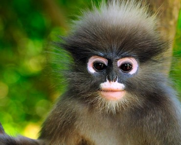 The Dusky leaf monkey (Trachypithecus obscurus)