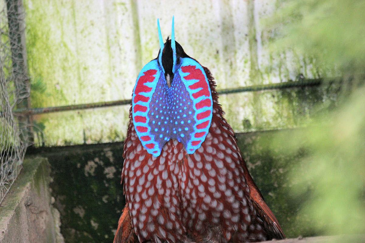 Image result for Temminck's Tragopan pic