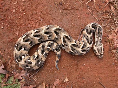 Tanzanian Puff Adder (Bitis arietans)