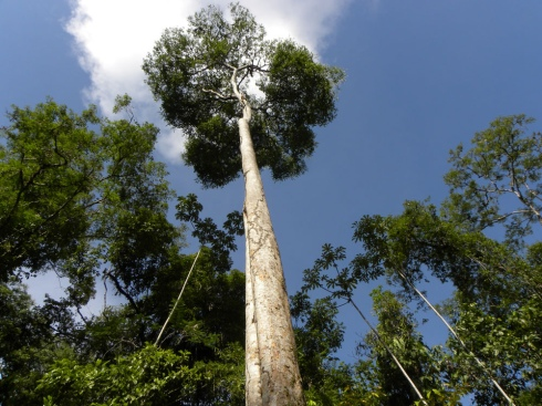 magnificent adult Peltogyne purpurea tree (photo by Reinaldo Aguilar)