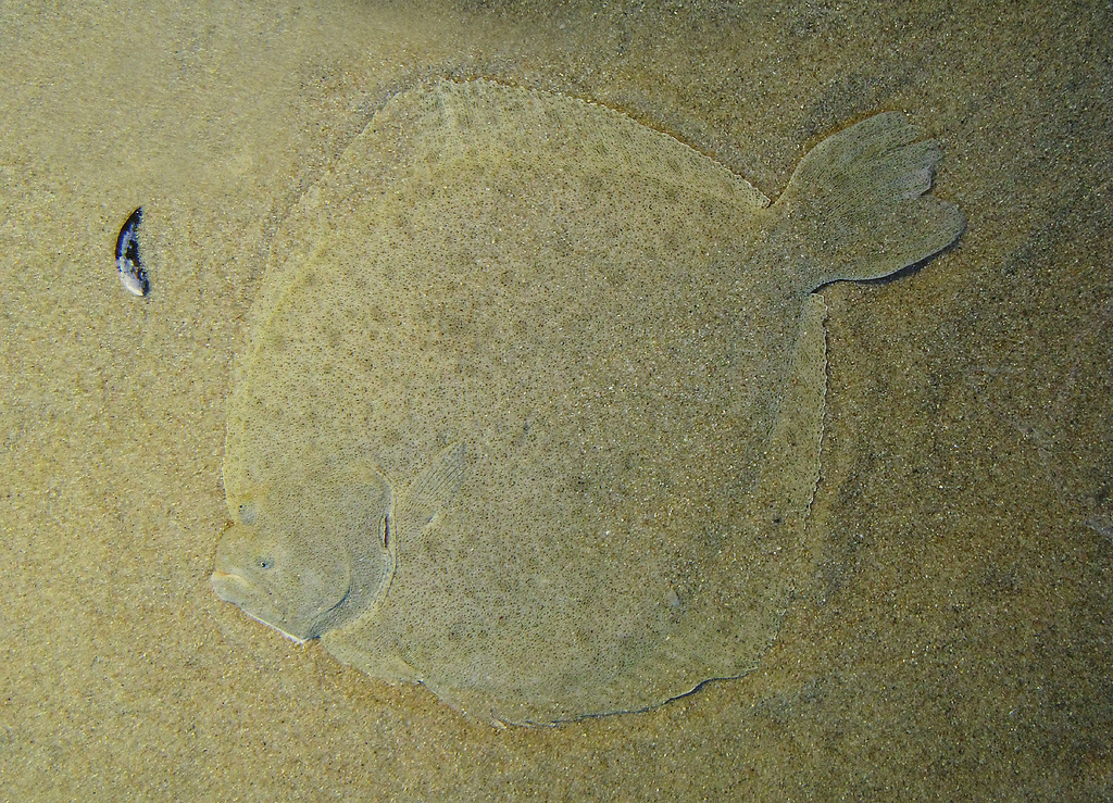 An adult Turbot