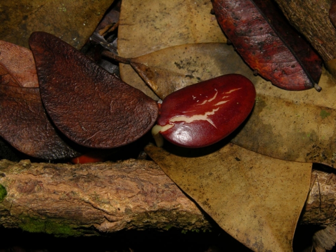 Agerminating purpleheart bean...er seed (Reinaldo Aguilar)