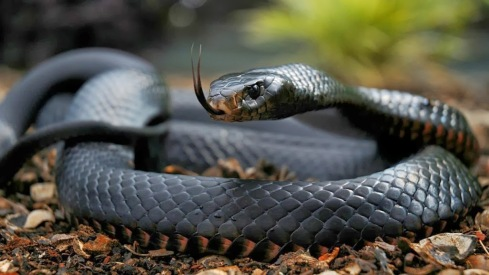 The Black Mamba (Dendroaspis polylepis) Africa's most infamous venomous snake