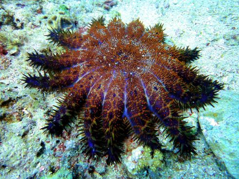 A ghastly Crown-of-Thorns Starfish denuding a coral reef