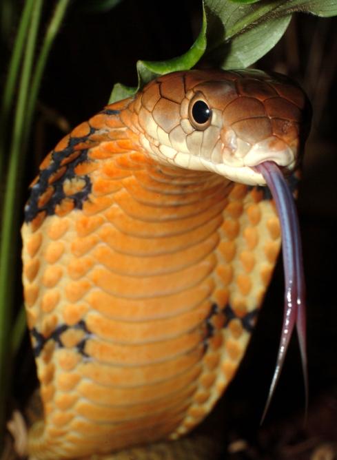 How Sharp Are King Cobra Fangs  ThailandSnakes
