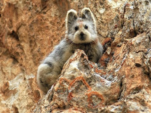 The Ili pika photographed by Li Weidong in July 2014