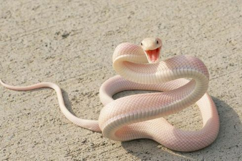 This albino black mamba is not clarifying anything, but is strangely endearing