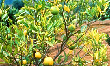 A tree infected with citrus greening disease