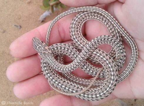 Juvenile Namibian Sand Snake (Psammophis namibensis)