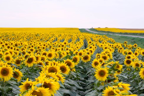 Sunflowers in a commercial field in California