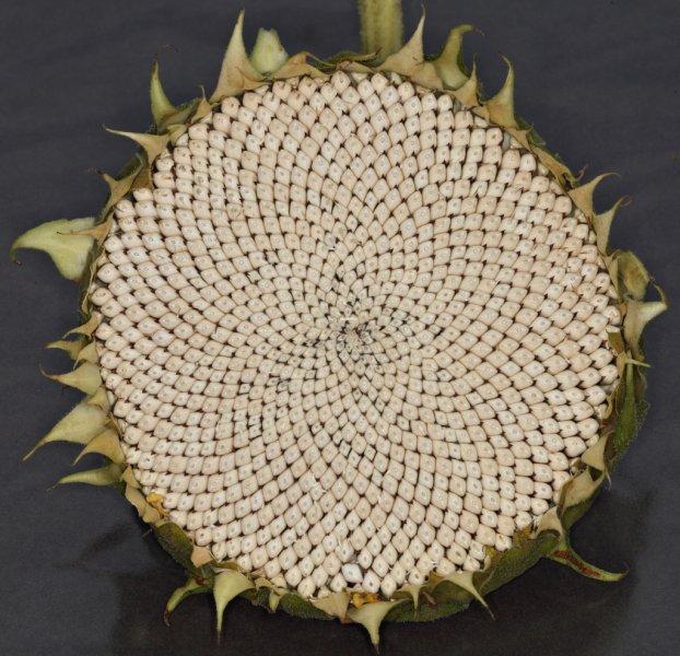 sunflower_forums