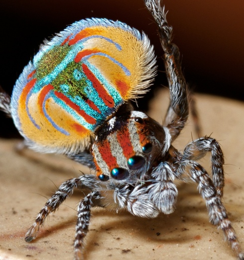 Male Peacock Spider (Maratus volans) via Jurgen Otto / Flickr