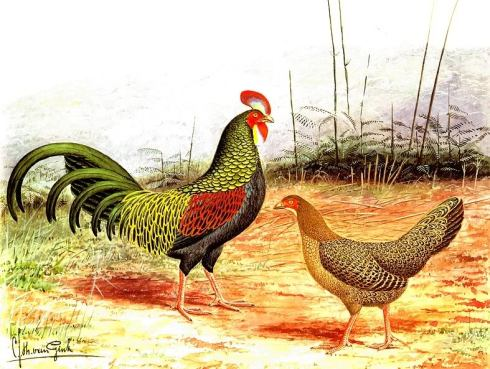 Male and female green junglefowl (Gallus varius)