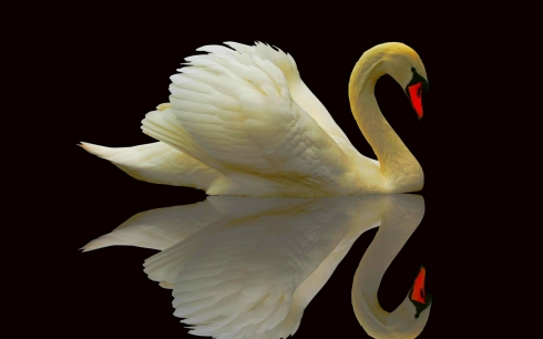 animals_widewallpaper_graceful-swan_64781