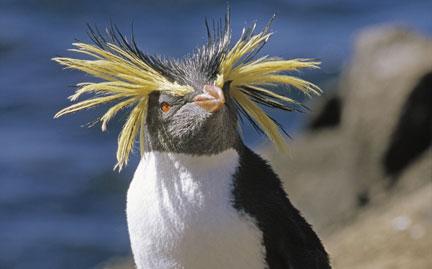large-rockhopper-penguin-photo