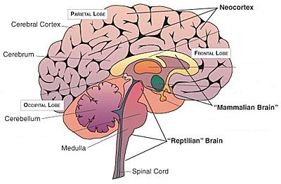 00000013_Neocortex