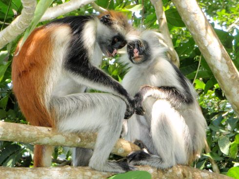 1280px-Red_Colobus_7