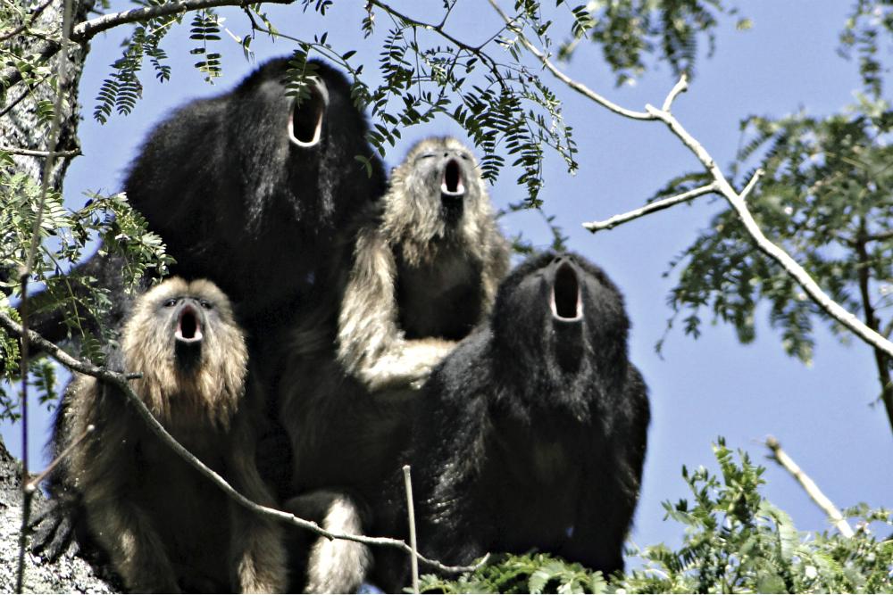 howler-monkey-Reuters-2015aa.jpg