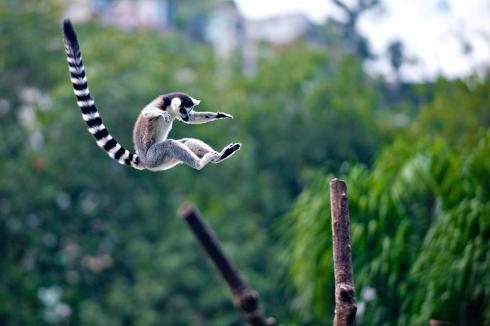 jumping-maki_lemur_9157_145382582276794_1439337107_n