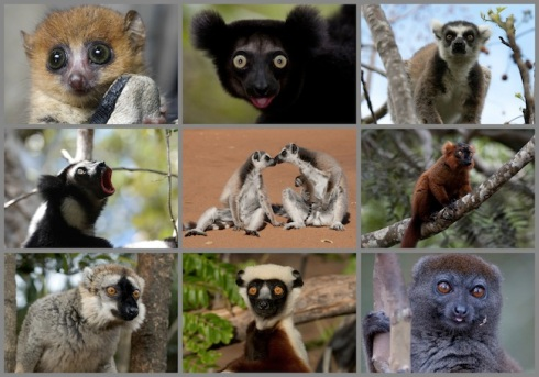 Lemur-Collage-2